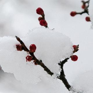雪中的梅花,暗香横路,艳妆霜姿,冰玉玲珑,颜红微带笑嫣然,煞是好看.