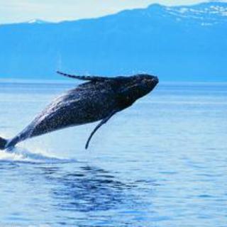海里有一条叫alice的鲸鱼