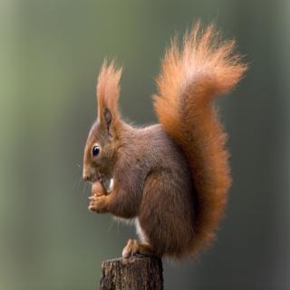 微信头像动物可爱松鼠