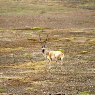 qq头像自然风景动物藏羚羊