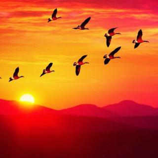 【动物趣闻】大雁为什么排队飞行