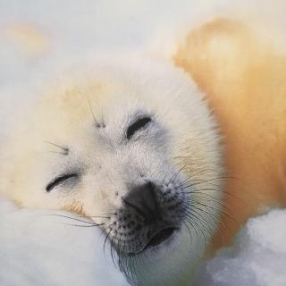 趴趴熊·睡前故事《竖琴海豹母子》