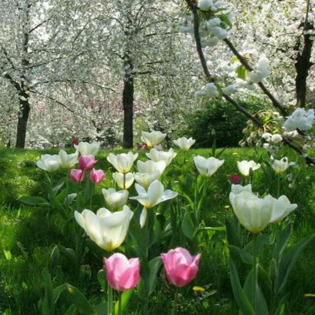 心田上的百合花