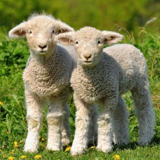 《两只羊》(朗诵考级一级作品)图片