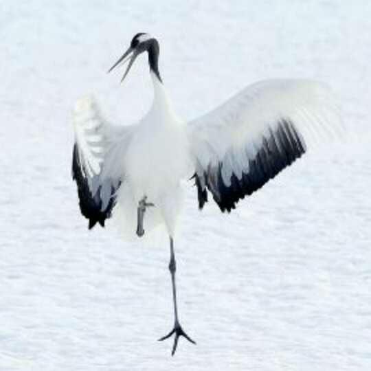 丹顶鹤为什么用一只腿站立?