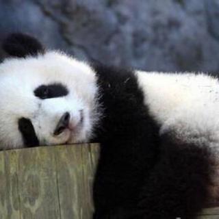 壁纸 大熊猫 动物 320_320