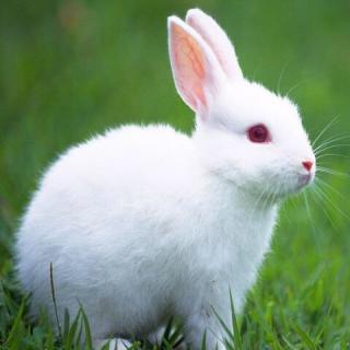 壁纸 动物 兔子 320_320