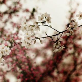 2017.03.17[去旅行]-三月 带你邂逅一场樱花雨