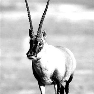 藏羚羊的跪拜