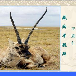 王宗仁:藏羚羊的跪拜