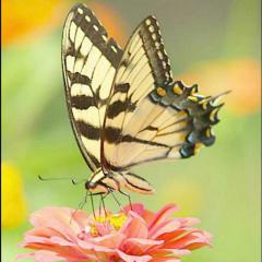 儿歌童谣-蝴蝶