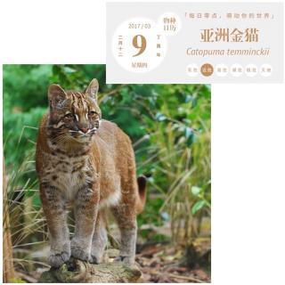 亚洲金猫_3_004_物种日历_亚洲金猫_20170309