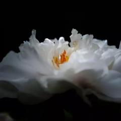 《白牡丹》