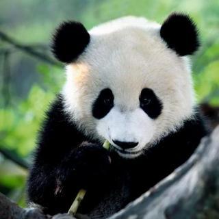 【疯狂动物园】终期·国宝大熊猫