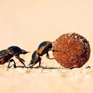 昆虫记粪金龟上