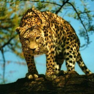 动物世界大百科@美洲豹:不是虎也不是豹