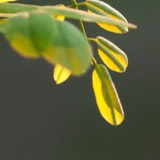 《一片槐树叶》纪弦