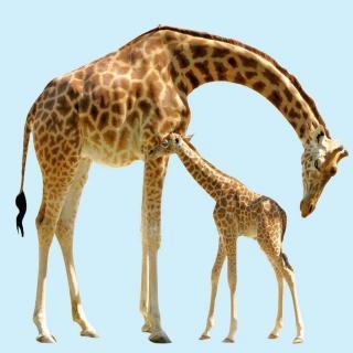 动物世界大百科@长腿欧巴长颈鹿,原来你也有困扰