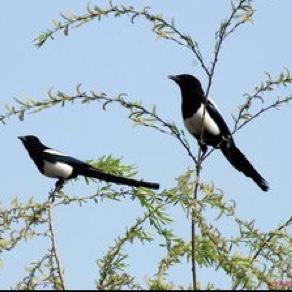 在池塘边那棵柳树上筑了个鸟巢,还生了三个憨头憨脑的小喜鹊.