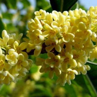 每每到了桂树开花的时候,邻村的伙伴 就连着枝叶 带些到学校来,那花
