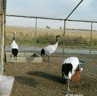 为什么丹顶鹤总用一条腿站着
