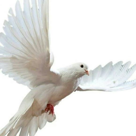 斗鱼小白鸽表情包分享展示图片