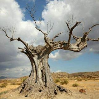 戈壁,枯树的向往 诗/大罗子