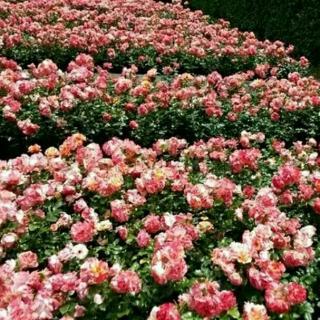 《玫瑰树根》智利·加夫列拉·米斯特拉尔
