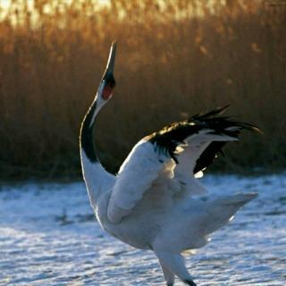 美丽的丹顶鹤