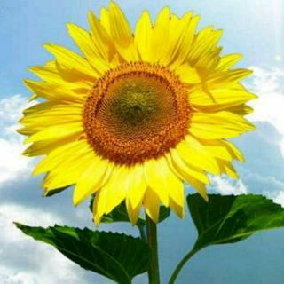向日葵笑脸囹�a_向着阳光的笑脸——向日葵