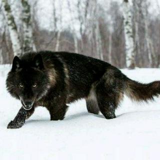 梦见两只黑狼