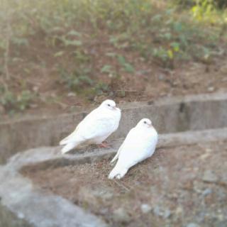 介绍:                              可爱的鸽子
