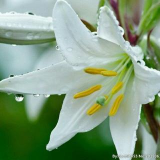 《心田上的百合花开--林清玄》朗诵 馨月