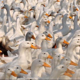 La avicultura saca de la pobreza a campesinos chinos