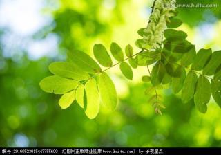 一片槐树叶