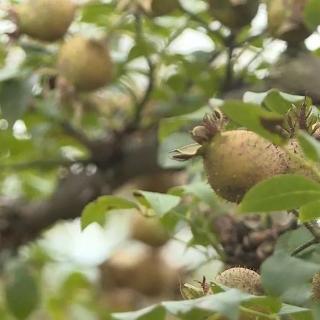 Una pequeña fruta cumple el gran sueño de enriquecerse de una aldea pobre