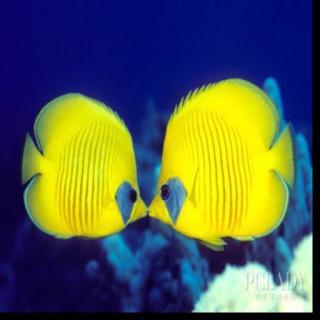 【萌宠有家】接吻鱼不接吻?解密接吻鱼接吻的屎臭吗女生图片