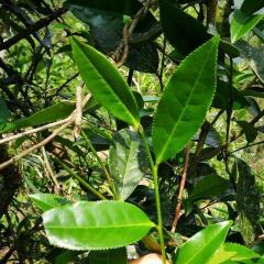 106武夷岩茶生长的土壤环境
