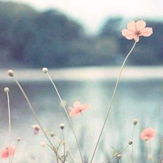 『心有猛虎·细嗅蔷薇』那些花儿——文自安妮宝贝《素年锦时》