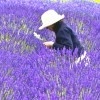 紫色の`薰衣草