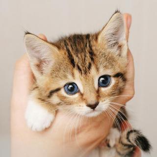 呼噜呼噜猫