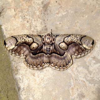 Le Papillon 蝴蝶
