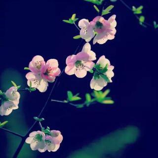 生命是一树花开 作者:红尘一笑 朗诵:月光