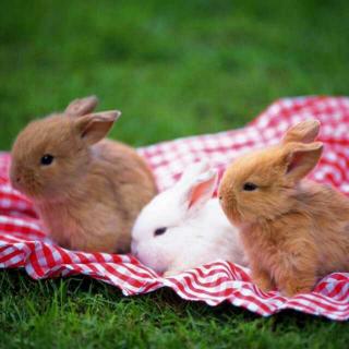《小兔子乖乖》的故事