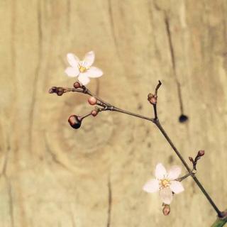 《野姜花》
