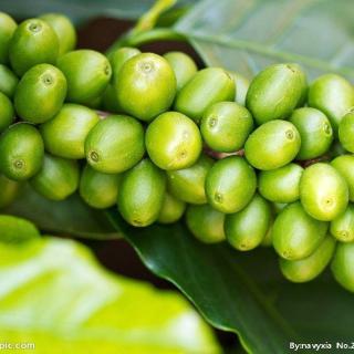 第一章咖啡豆的基础知识-1.咖啡三大原生种