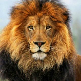 动物小达人--狮子