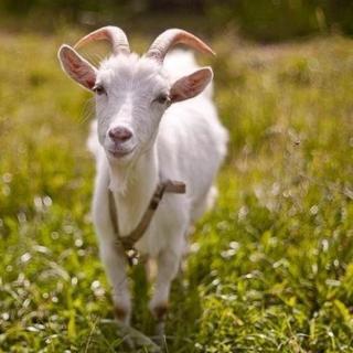被剪去半身毛的母山羊