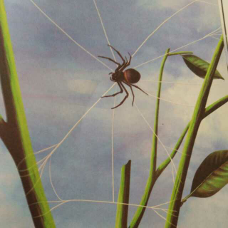 昆虫记-圆网蛛