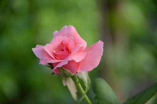 野玫瑰---歌德&舒伯特